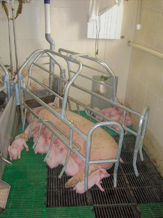 Рентабельность при выращивании свиней 334